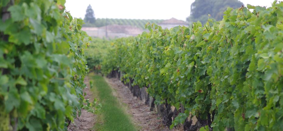 Vignes en Charente Maritime proche de notre camping de l'ile d'Oléron