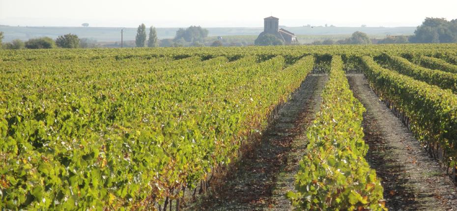 A la Haute Saintonge en Charente-Maritime, les vignes proche du camping La Campière