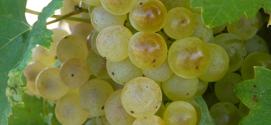 Les vignes en Charente Maritime