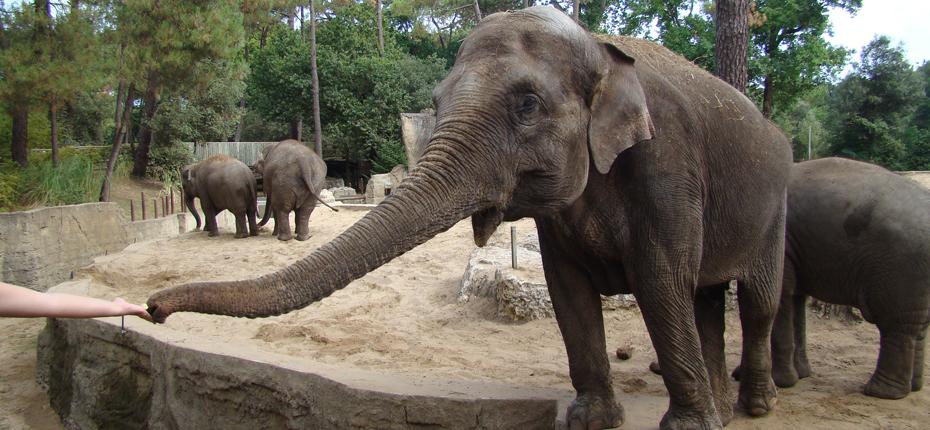 Les éléphants du Zoo de la Palmyre