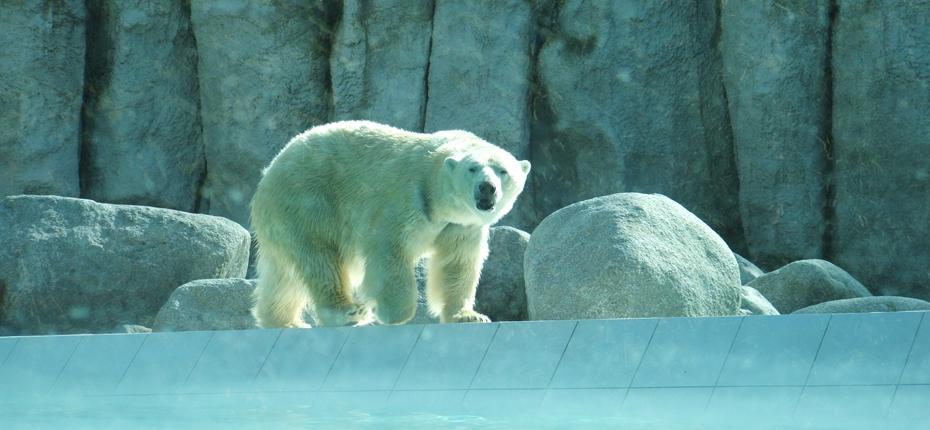 Les ours blancs du Zoo de la Palmyre